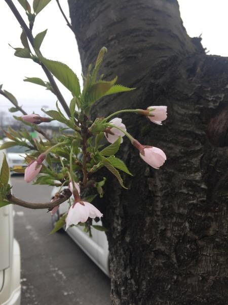 そういえば「桜」咲き始めてるけど@青森