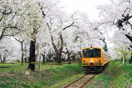 平成最後のお花見ははじめての【芦野公園】